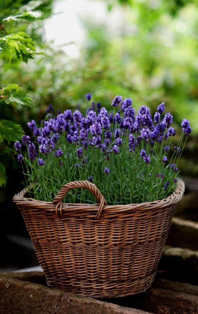 Pin By Amy Parker On Baskets Flowers Hats Growing Lavender Lavender Garden Lavender Plant