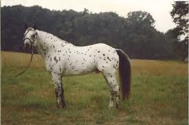 Pony Of The Americas | Pony of the Americas, horse riding, used saddles for sale, draft horse ...