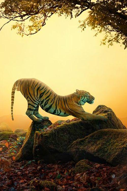 Tiger - Good Morning by Caras Ionut
