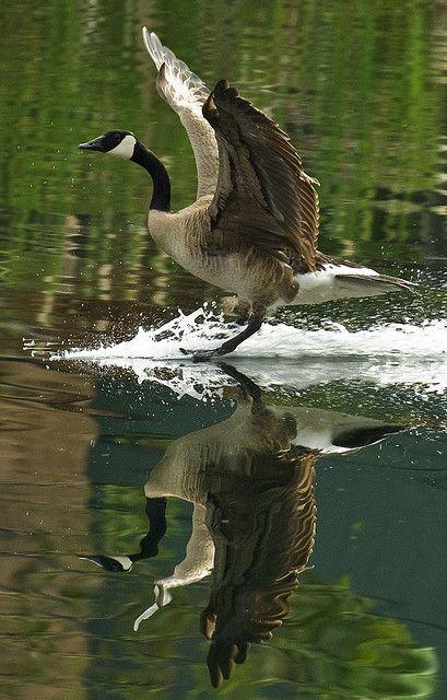 Canadian Goose, El Dorado Hills, California; photo by .photosbyflick