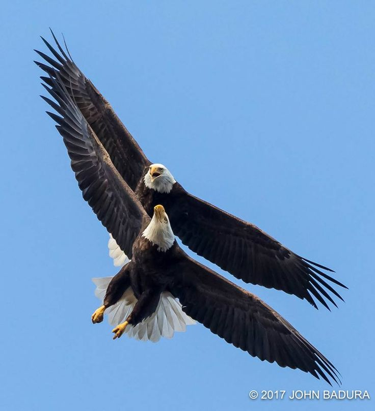 Bald Eagles dancing by Leland Long Wolf