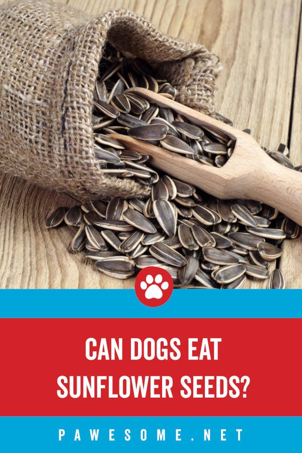 Can Dogs Eat Sunflower Seeds Short Answer Is Yes But You Need To Learn About The Benefits And Side Effects To Get A F In 2020 Can Dogs Eat Dog Eating Sunflower Seeds