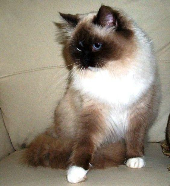 Ragamuffin | Kucing Ragamuffin tampak sangat mirip dengan kucing Ragdoll ...