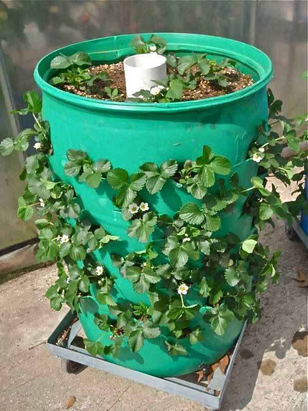 Strawberry Garden Ideas diy strawberry planter Picture Of Strawberry Barrel The White Pvc Pipe Has Holes Drilled All Along Its Length