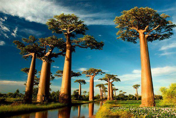 Баобаб У этих деревьев отсутствуют кольца, благодаря которым можно определять возраст растения. Учёные делают это с помощью радиоуглеродного анализа.