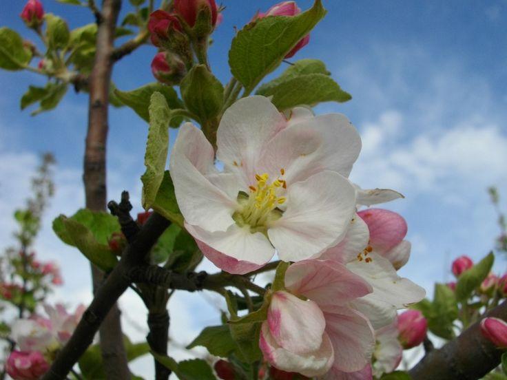 elma çiçeği apple flowers