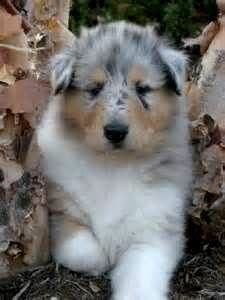 Blue Merle Rough Collies For Sale