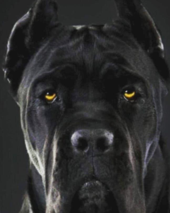 Mastiff Lab Mix A Complete Guide To The Mastador Mastiff Mix Mastador Dog Lab Mix Puppies