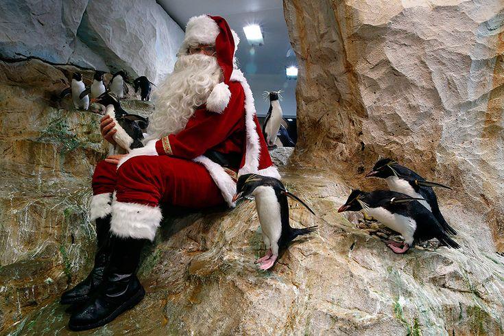 Un hombre vestido de Papá Noel posa junto a los pingüinos del zoo de Marineland en Antibes, al sur de Francia, el 21 de diciembre de 2016.