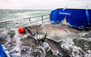 Lydia the great white shark is shown on a research vessel off the coast off Jacksonville, Fla. in a March 2013 handout photo.