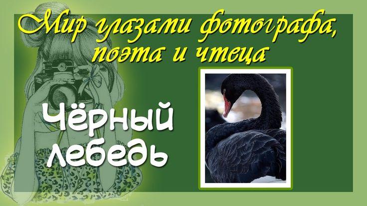 Красивые фото и авторские стихи Чёрный лебедь - птица гордая и редкая