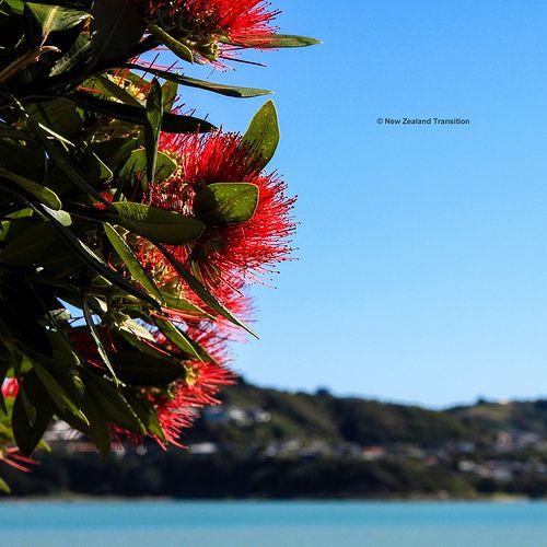 131226 Pohutukawa - NZ xmas tree