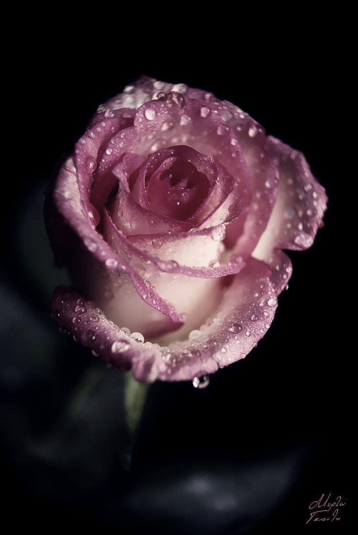 Sterling Roses (?)
