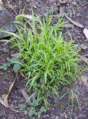 Ehrharta erecta BAD GRASS WE HAD!!!! BM