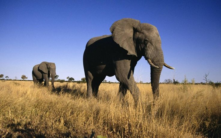 animal elephants best desktop background wallpaper