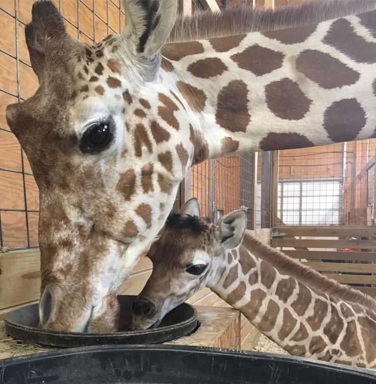 Farewell (for Now) to April's Giraffe Cam #Science #iNewsPhoto