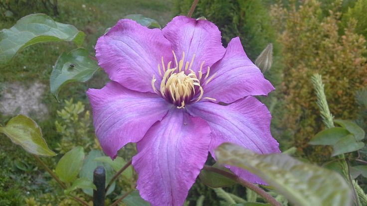 Clematis Warszawska Olga. Beautiful pink clematis raised by the late Brother Stefan Franczak. Photo: Dagmara Walkowicz