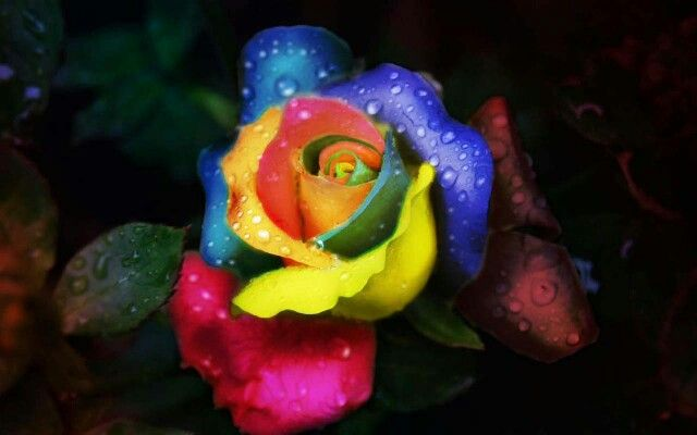 #RainbowRose