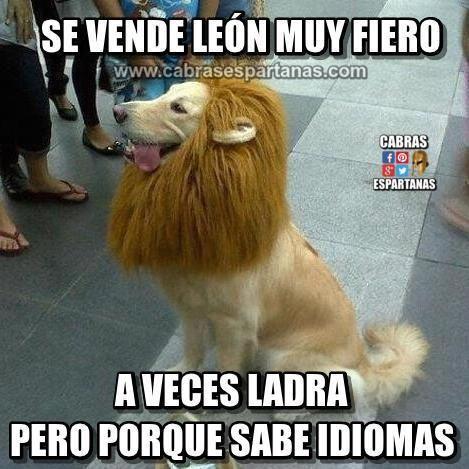 Vendo león muy fiero y con idiomas