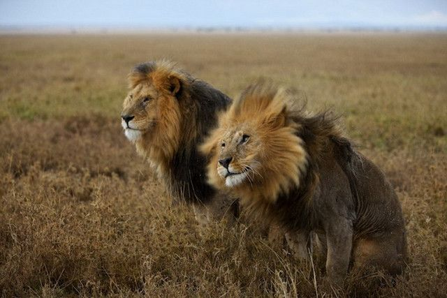 intimate take of lion
