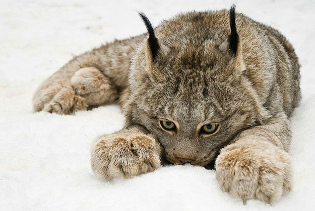 Paw star, the Canadian lynx. Impawsibly cute. | The 20 Cutest Pictures Of Cat's Paws