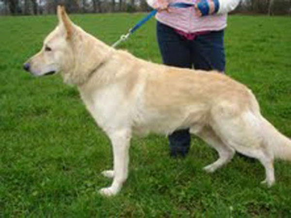Cream German Shepherd Unusual Colors And Traits In Dogs