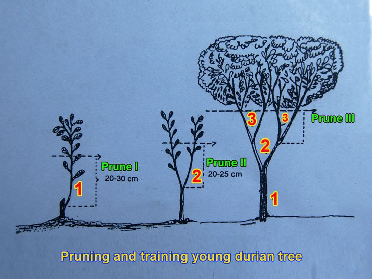 Durian Info  Pruning And Training The Durian