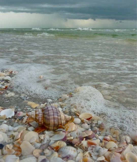 Banded Tulip seashell in surf