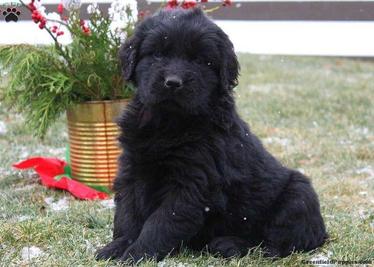 Clara newfoundland puppy labradoodle puppies for sale