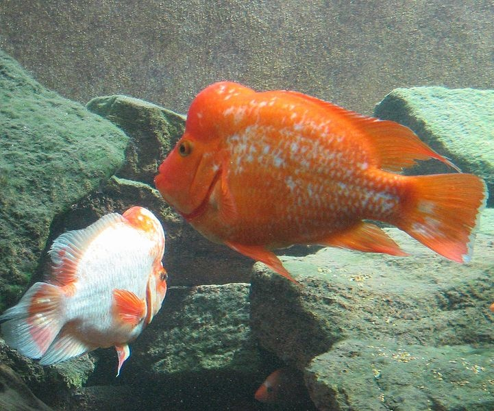 17 best images about american cichlids on pinterest for Red devil fish