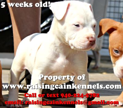 Red Pitbull Puppies   XXL RED NOSE PITBULL PUPPY FOR SALE MALE $3500