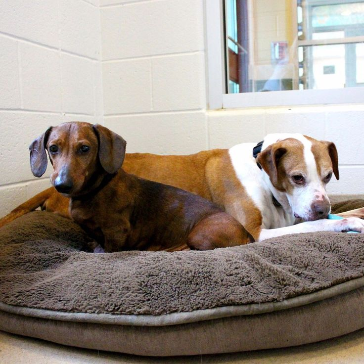 SENIOR SUNDAY! Our friends at @susiesseniordogs want to share a story of best friendship: Chubby and Diamond are best friends. But they just can't catch a break. These two were surrendered to the shelter together when their former humans got divorced. And now they can't find anybody who wants to adopt them. These two sweeties may look physically different, but their hearts couldn't be more connected. Chubby is a 9 year old male dachshund and Diamond is an 11 year old female boxer mix…