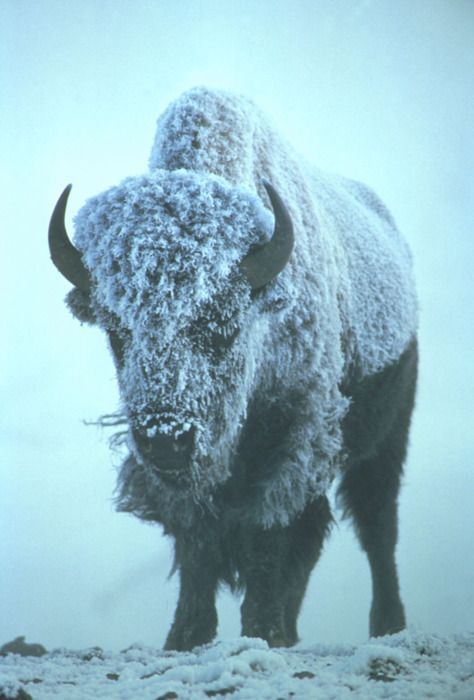 Bison Covered in Frost