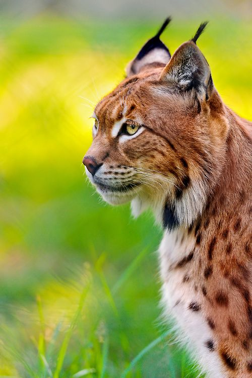 Profile portrait of Luca the lynx (by Tambako the Jaguar)