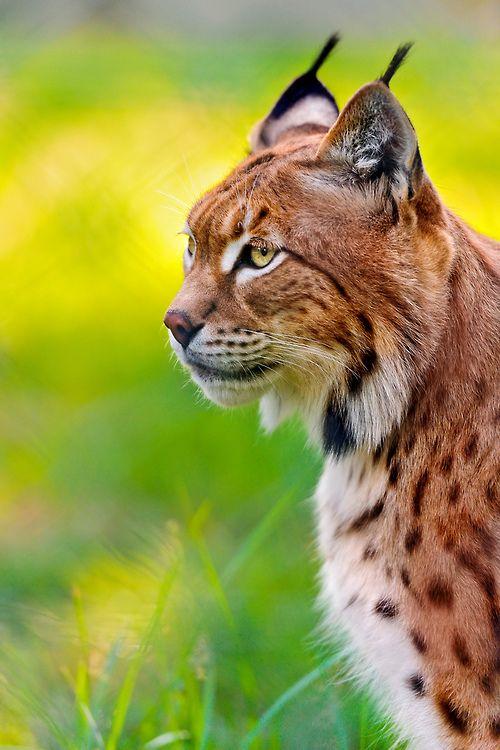 Profile portrait of Luca the lynx (by Tambako the Jaguar)