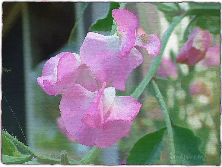 I love Sweet Peas, one of my favorite flowers!  I nick named my Allanah after this flower!