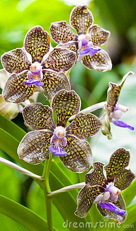 fragrant-orchid-4670087.jpg (265×450)