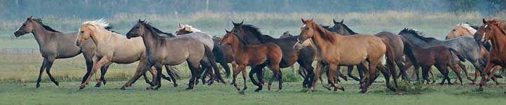 Registered Quarter Horses Dun Roan Grulla Ranch Trail Riding