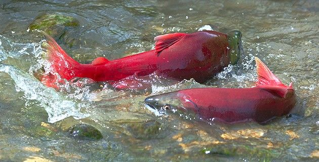 17 best ideas about salmon species on pinterest fishing for Alaska fish species