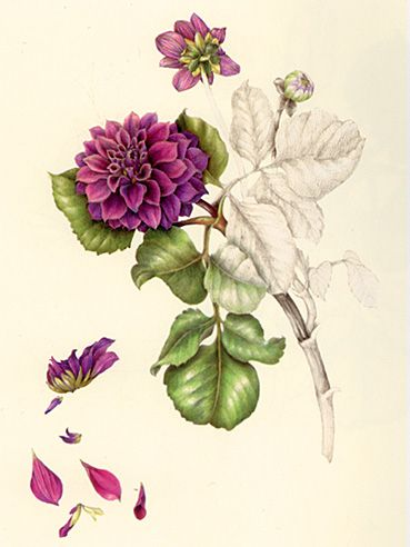22 best images about Dahlia Studies on Pinterest | Hudson ...