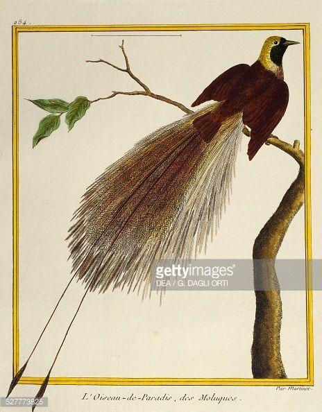 """6- François-Nicolas Martinet: l'oiseau de Paradis, des Moluques- § F-NICOLAS MARTINET: Mais l'oiseau infecté de parasites était rapidement décomposé. Cette méthode a toutefois fait largement progresser la représentation ornithologique, donnant du """"vivant"""" aux sujets. Martinet a aussi participé à l'Encyclopédie de Diderot et d'Alembert, il a contribué à l'illustration ornithologique."""