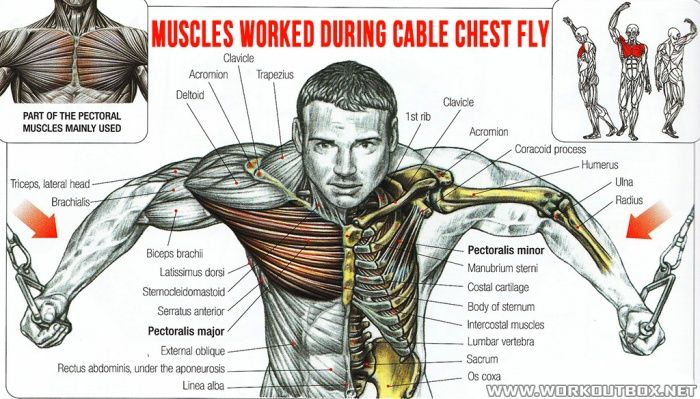 Muscles Worked During Cable Chest Fly - Healthy Fitness ...