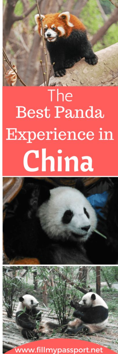 Pandas are some of the most beautiful creatures on earth. At Chengdu Research Base you can mingle with the pandas in an ethical experience supporting research and conservation efforts to protect these animals from extinction. Check out our post on the Best Panda Encounter in China. #china #pandas #chengdu #chinatravel