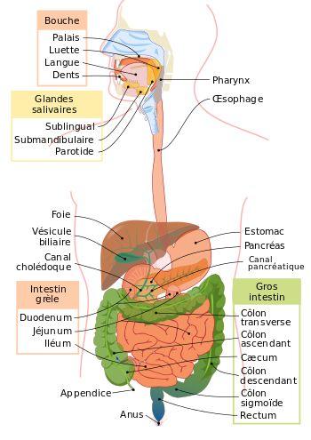 Appareil digestif humain — Wikipédia