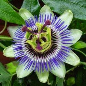 Πασιφλώρα - Πασιφλόρα - Ρολόγια - Λουλούδι του πάθους - Passiflora Incarnata - Passionflower