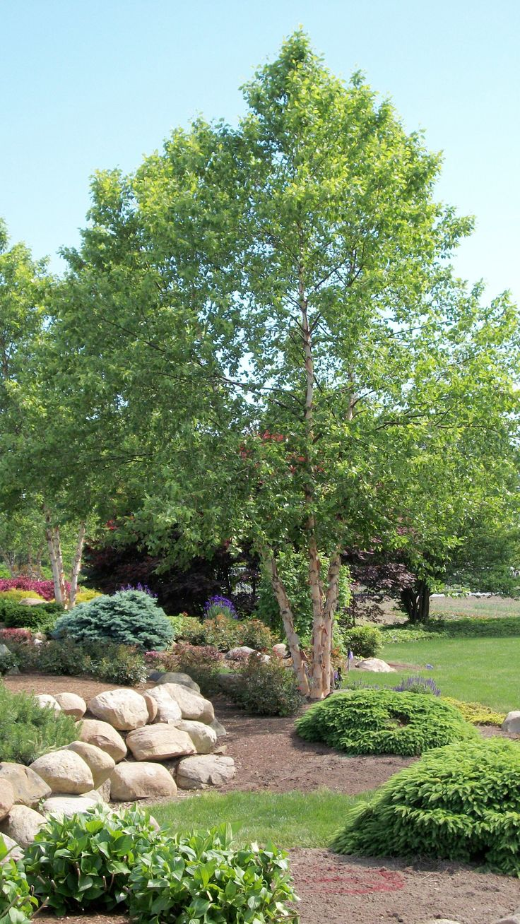 Betula nigra (River Birch tree)
