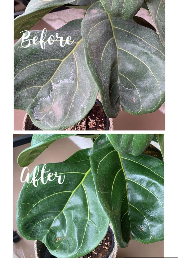 Read How Best To Remove The White Residue Hard Water Spots From Your Fiddle Leaf Fig Leaves Only 3 Simple Steps Hard Water Spots Fiddle Leaf Fig Fiddle Leaf