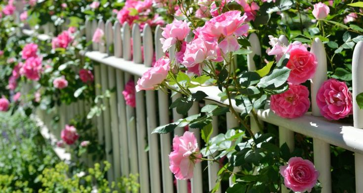 Hodowlane róże pnące - najpiękniejsze gatunki
