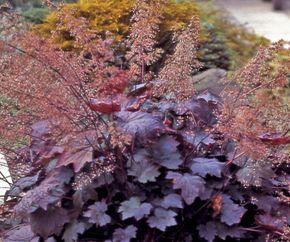 1991 Perennial Plant of the Year:  Heuchera micrantha 'Palace Purple'