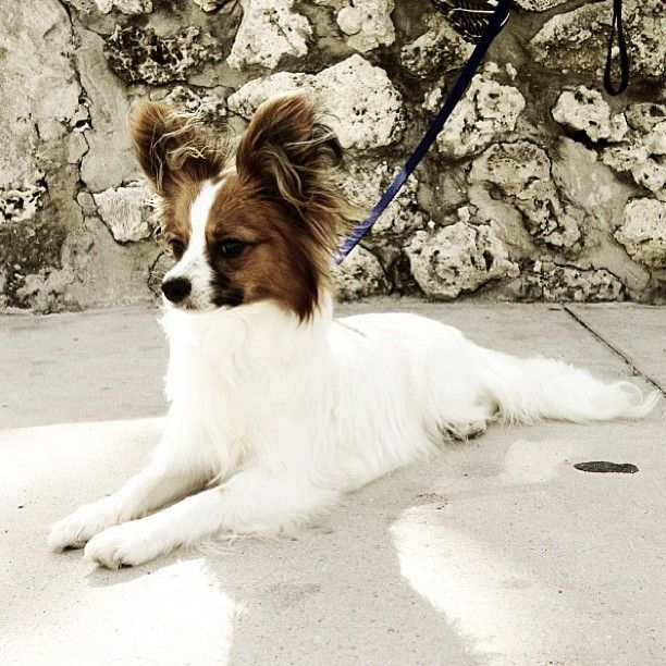 "Pretty sable & white Papillon ""Butterfly"" Puppy."